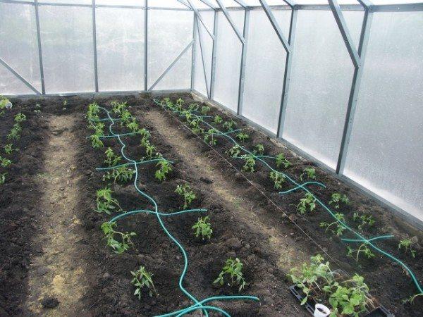 Смонтирована автоматическая система капельного полива помидоров