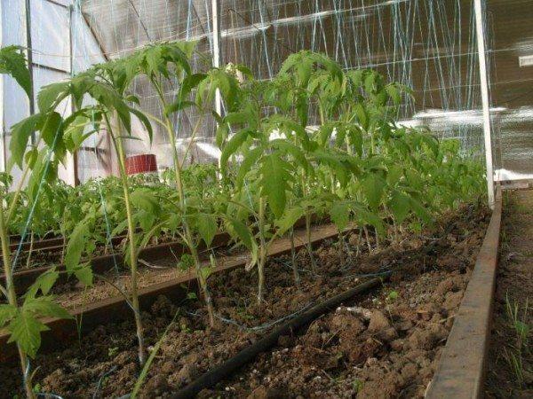 Теплолюбивые томаты быстрее растут в поликарбонатной теплице.