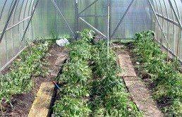 Томаты, выращиваемые в небольшой теплице