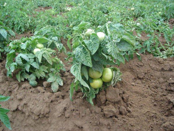 Внешний вид штамбовых помидоров