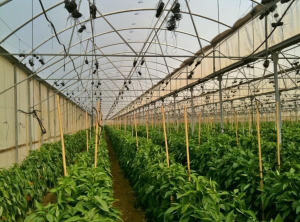 Выращивание овощей в закрытом грунте весьма затратно, но может принести неплохую прибыль