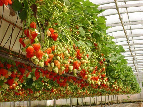 Выращивание разнообразных растений в условиях теплицы – это возможность добиться высокого урожая, который будет здоровым и безопасным.