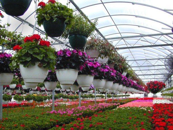 Выращивание цветов – самый выгодный тепличный бизнес