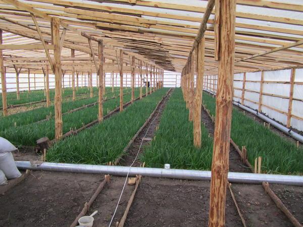 Выращивание в большом объеме лука и другой зелени для сбыта