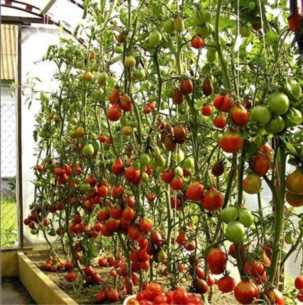 Выращивание высокорослых помидор в один стебель