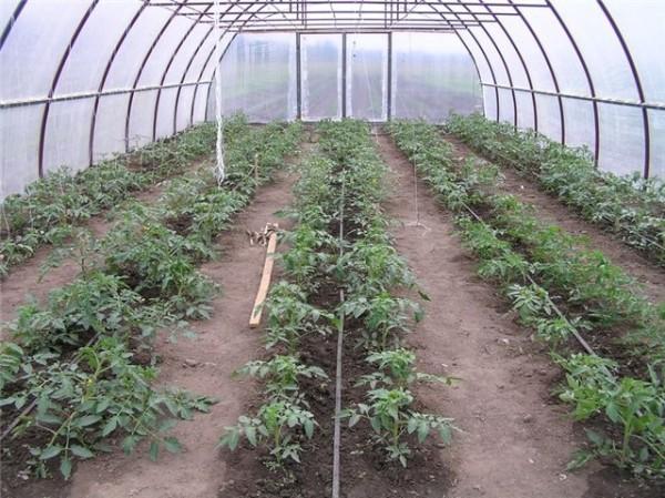 Высадка детерминантных томатов в закрытый грунт