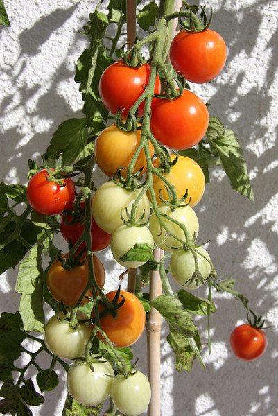 Высокоурожайные томаты для Сибири в теплице мы сами формируем и подвязываем.