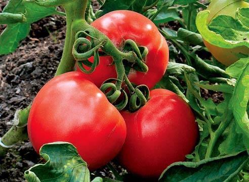 При правильном выборе сорта помидор для выращивания в теплице и соответствующем уходе томаты дают большой качественный урожай