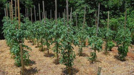Расстояние между кустовыми томатами должно быть не менее 60 см