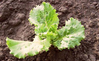 Три листка салата